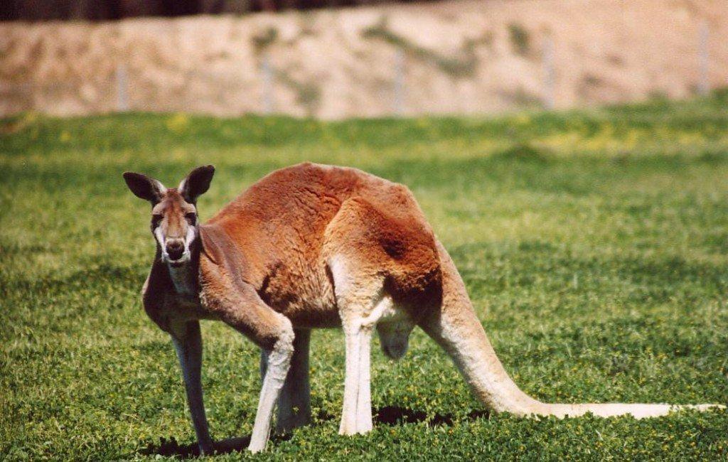 Czy spotkanie z kangurem może być niebezpieczne?